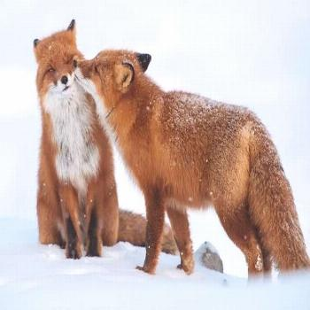 FOX Couple in the Snow  on ONE 16 inch Fabric Panel to Sew .Actual Pic is 8